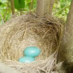 Robins eggs in a nest. REjoice and be glad.