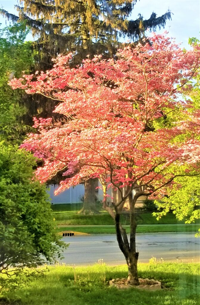 red-dogwood-tree