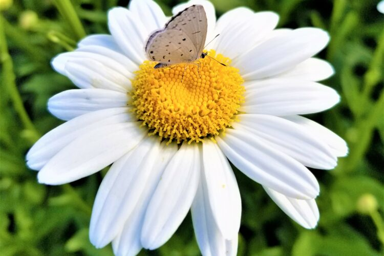 butterfly-on-daisy