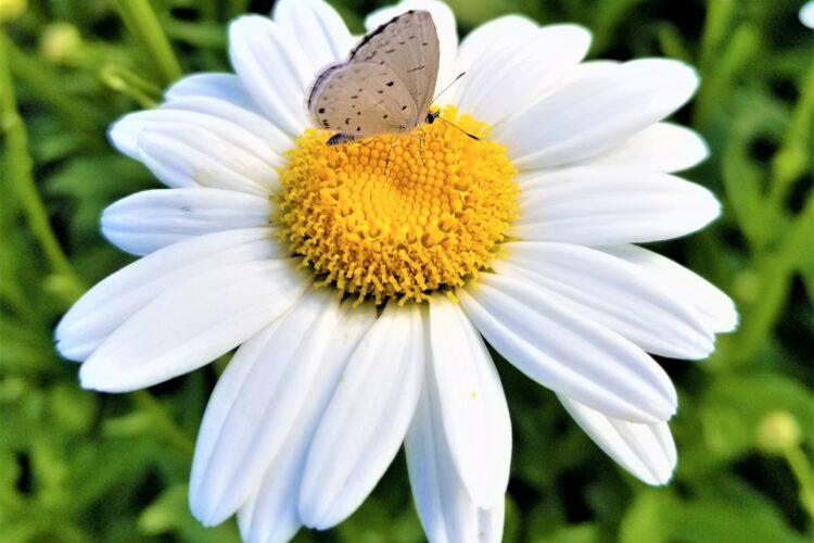 butterfly-on-daisy